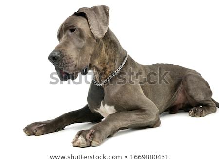 stúdiófelvétel · imádnivaló · nagyszerű · kutya · ül · fehér - stock fotó © vauvau