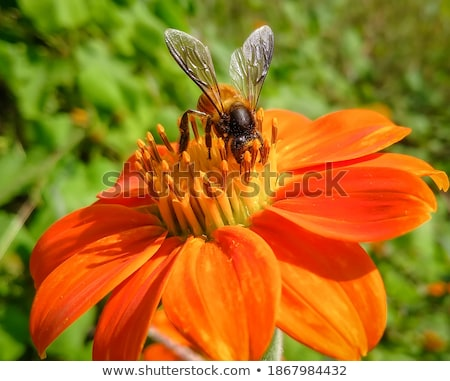 Bee collection pollen on a dahlia flower blossom Stock photo © manfredxy