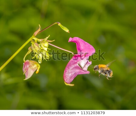 マクロ フライ ピンクの花 桜 昆虫 花 ストックフォト © manfredxy