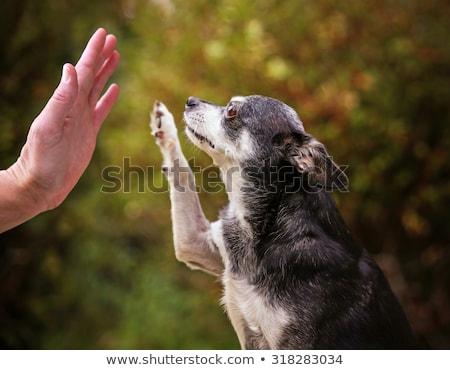пять · мало · собаки · щенки · сидят · таблице - Сток-фото © cynoclub