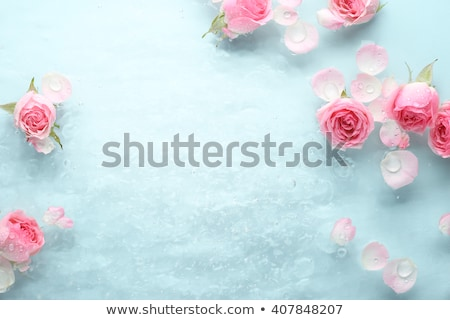 Closeup of beautiful rose with droplets Stock photo © bogumil