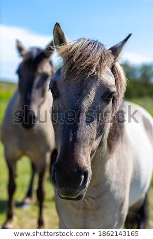 chevaux · course · gazon · sport · cheval · vitesse - photo stock © photography33