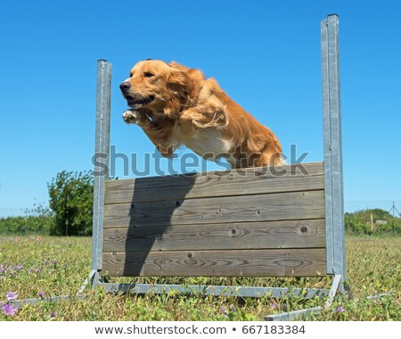 golden retriever in agility Stock photo © cynoclub