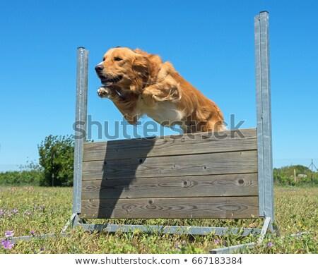 golden retriever in agility stock photo © cynoclub