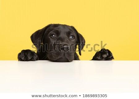 fatigué · noir · labrador · regarder · caméra · blanche - photo stock © feedough