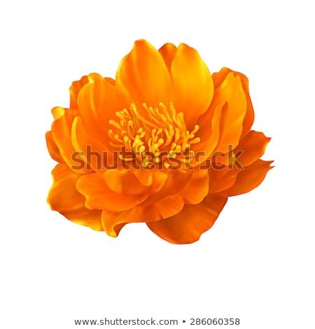 uno · arancione · fiore · rugiada · isolato · bianco - foto d'archivio © boroda