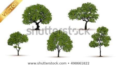 fig tree canopy stock photo © photohome