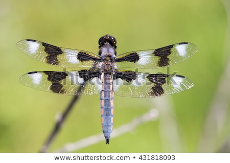 Oito libélula azul Foto stock © devon