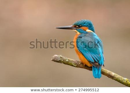 カワセミ 座って 自然 オレンジ 鳥 緑 ストックフォト © dirkr