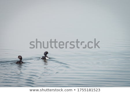 Female Tufted duck swimming on a lake Stock photo © michaklootwijk