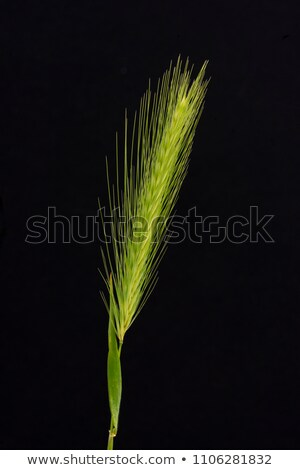 False Barley Stock photo © stevanovicigor