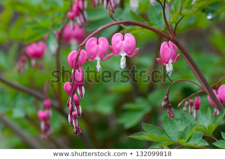 Bleeding heart flowers (Dicentra spectabils) Stock photo © ultrapro