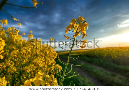 canola plants stock photo © thomaseder