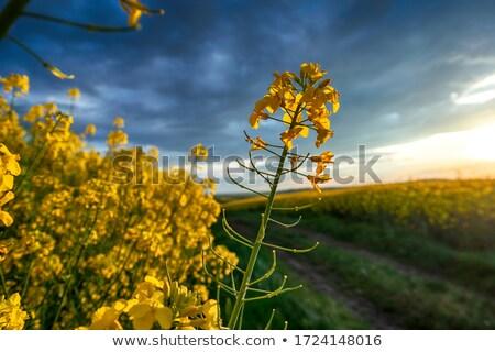canola plants Stock photo © thomaseder