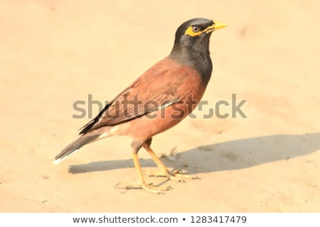 common myna of indian subcontinent stock photo © bdspn