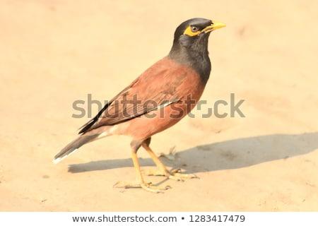 Subcontinente indiano terreno olhos natureza pássaro preto Foto stock © bdspn