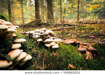 champignons · bos · macro · natuur · najaar · park - stockfoto © rabel