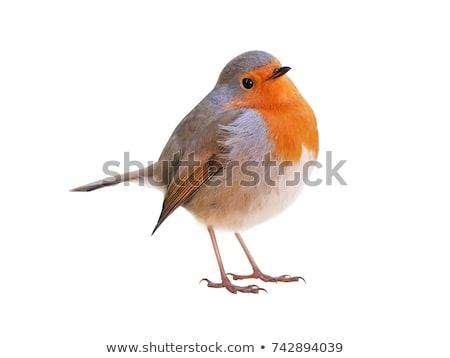 pássaro · europeu · belo · madeira · natureza · laranja - foto stock © dirkr