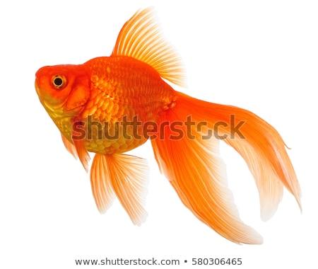 altın · balık · doğa · arka · plan · hayvanlar · siluet - stok fotoğraf © boroda