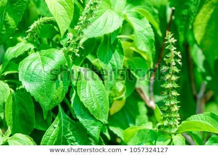 small indian basil seed stock photo © ziprashantzi