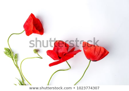 wild poppy flower over green background Stock photo © taviphoto