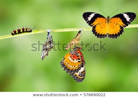Verde lagarta borboleta macro Foto stock © manfredxy