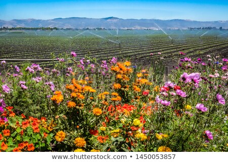 California Flowers in a Row Stock photo © emattil