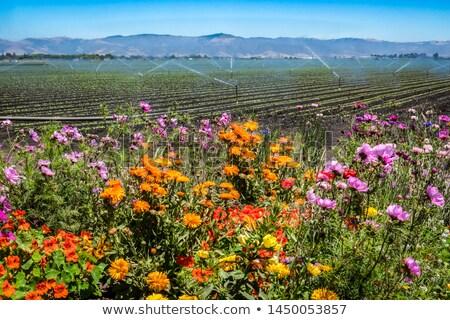 カリフォルニア · 花 · カラフル · 米国 - ストックフォト © emattil