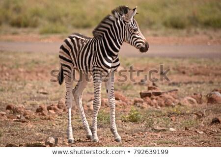черно · белые · лошади · кобыла · жеребенок · трава - Сток-фото © fouroaks