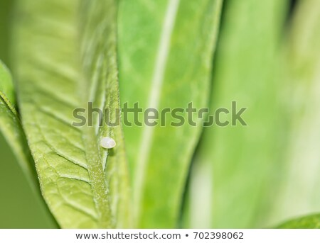 Monarch butterfly - Danaus plexippus - egg stage Stock photo © bluering