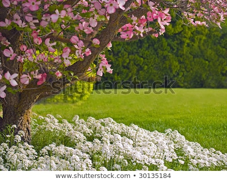 Stockfoto: Pink Blooms Adorn A Dogwood Tree In Spring