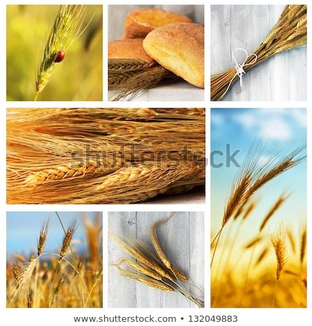 Kukorica mezőgazdaság fotó kollázs copy space mező Stock fotó © stevanovicigor