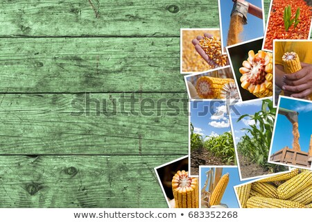 Corn and maize growth in agriculture, photo collage Stock photo © stevanovicigor