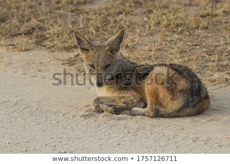 Black-backed jackal laying on the road. Stock photo © simoneeman