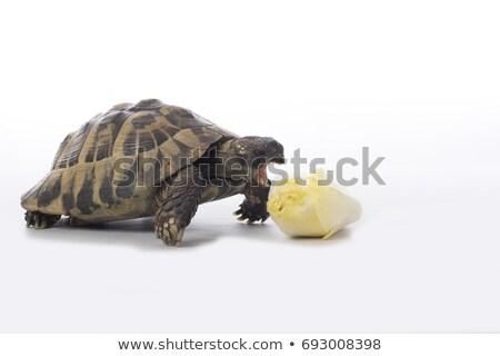 Yunan arazi kaplumbağa yeme beyaz stüdyo Stok fotoğraf © AvHeertum