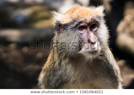 veszélyeztetett · piros · majom · erdő · szem · természet - stock fotó © yhelfman
