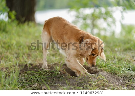 A dog digging the ground Stock photo © bluering