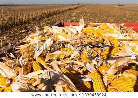 Heap of corn crop after harvest Stock photo © simazoran