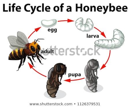 Ciência mel de abelha vida ciclo ilustração natureza Foto stock © bluering