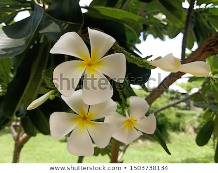 White frangipani on light background  Stock photo © dashapetrenko