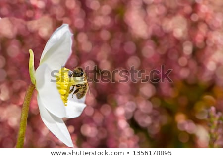 Bee pollinating in the blossom of a christmas rose flower Stock photo © manfredxy