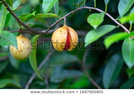 мускатный орех дерево солнце природы лист Сток-фото © galitskaya