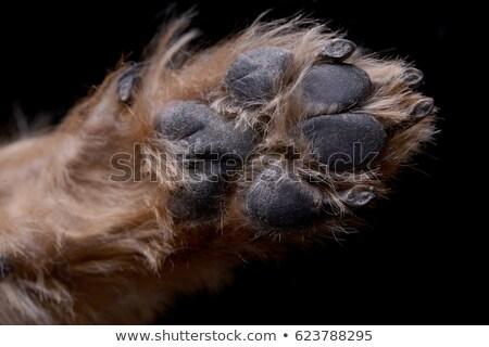 Sluiten shot aanbiddelijk yorkshire terriër poot Stockfoto © vauvau