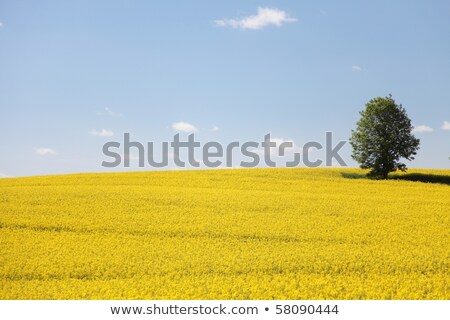 Yellow rapeseed fields on a background of cloudy sky. Stock photo © artjazz