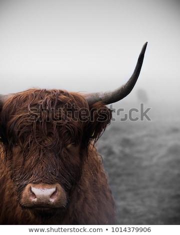 dark highland cattle Stock photo © gewoldi