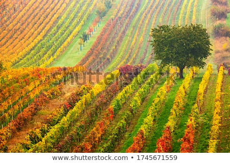 grapevines in vineyard czech republic stock photo © phbcz