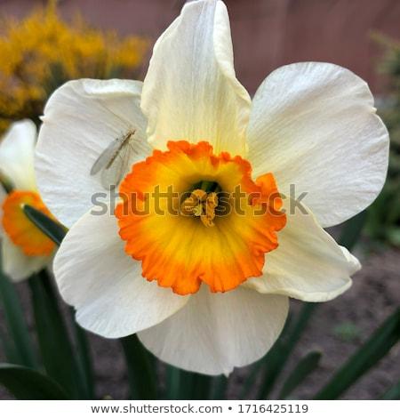 White narcissus Stock photo © Gbuglok