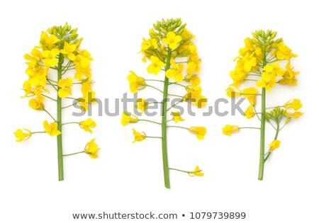 Verkrachting bloemen voorjaar gras achtergrond zomer Stockfoto © kawing921