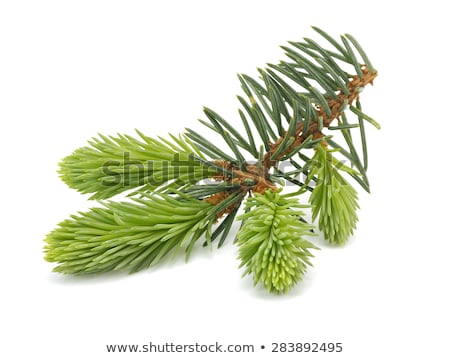 fir branch with fresh sprouts Stock photo © Zerbor