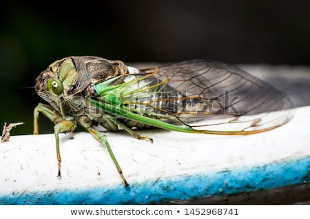 Cicada Bug Stock photo © Lightsource